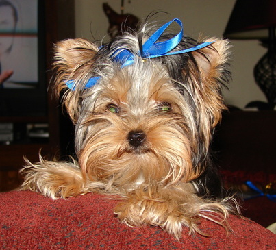 Quality Akc Yorkshire Terrier Pups For Sale